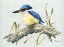 Sacred Kingfisher R225