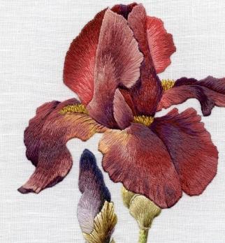Iris spartan